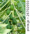 パパイヤ パパイヤ科 果物の写真 26702050
