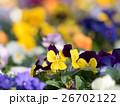 パンジーの花壇 26702122