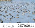 オナガガモの越冬地 26708011