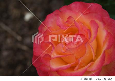 薔薇 26710182