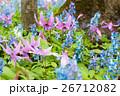 北海道の春の森カタクリとエゾエンゴサク(突哨山、男山自然公園) 26712082
