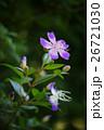 リトルエンジェル 三色野牡丹 シコタンノボタンの写真 26721030