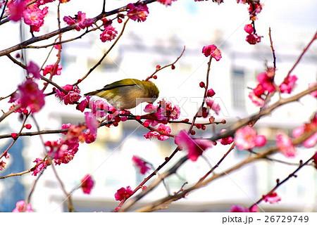 梅の花の蜜を吸うメジロ 26729749