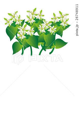 春の七草繁縷 26748911