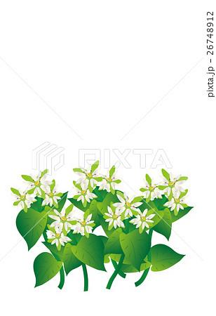 春の七草繁縷 26748912