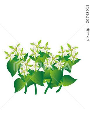 春の七草繁縷 26748915