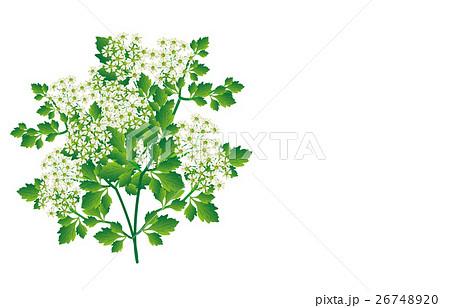 春の七草芹 26748920