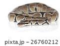 ニシキヘビ パイソン ヘビの写真 26760212