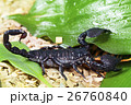 Scorpion in wildlife 26760840