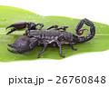 Emperor Scorpion on a green leaf 26760848