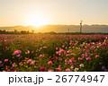 夕日とコスモス畑 26774947