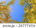 紅葉した銀杏 26777454