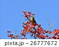 メジロ 紅葉 鳥の写真 26777672