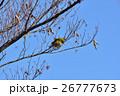 メジロ 鳥 野鳥の写真 26777673