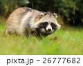 タヌキ 狸 たぬきの写真 26777682