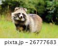 脂肪 タヌキ 狸の写真 26777683