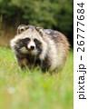 タヌキ 狸 たぬきの写真 26777684