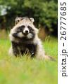 タヌキ 狸 たぬきの写真 26777685