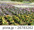 花期の長いビヲラのオレンジ色と白と青色の花 26783262