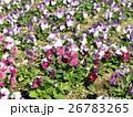 花期の長いビヲラの赤色と白色と青色の花 26783265