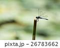 シオカラトンボ 26783662
