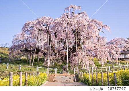 三春滝桜 26787747