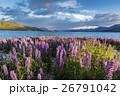 ニュージーランドのテカポ湖と満開のルピナス 26791042