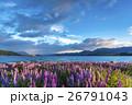 ニュージーランドのテカポ湖と満開のルピナス 26791043