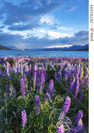 ニュージーランドのテカポ湖と満開のルピナス 26791044