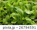 ベビーリーフ 野菜 26794591
