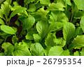 ベビーリーフ 野菜 26795354
