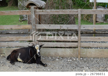 柵のそばで休むヤギ 26796651