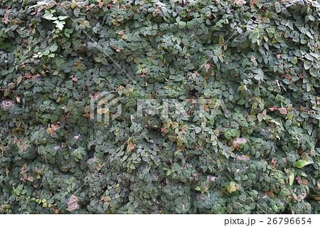 石に這う植物 26796654