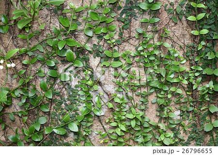 樹木に這う植物 26796655