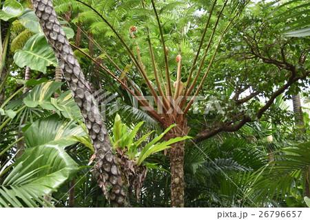 シダ植物 26796657