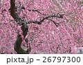 満開 梅 花の写真 26797300