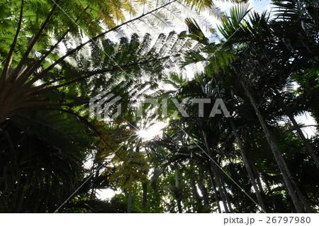 ヤシの木とシダ 26797980