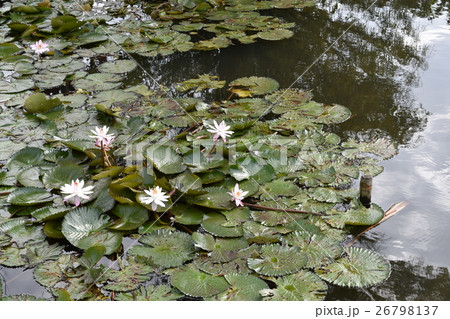 睡蓮の花 26798137