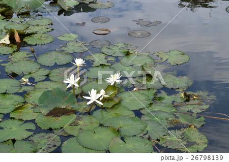 睡蓮の花 26798139