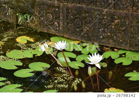 睡蓮の花 26798142