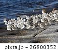 検見川浜の海岸で日向ぼっこをするミユビシギ 26800352