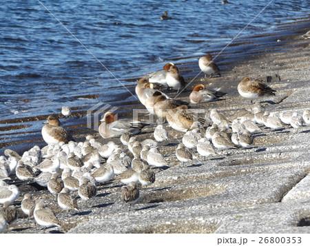 検見川浜の海岸で日向ぼっこをするミユビシギとヒドリガモ 26800353