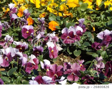 黄色と紫色の花のビヲラ 26800826