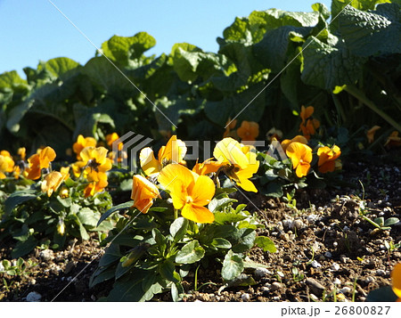 黄色い花のビヲラ 26800827