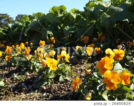 これから咲くナバナの前に黄色い花のビヲラ 26800829