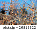 Toringo crabapple fruits in winter 26813322