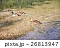 湖 アヒル オーストリアの写真 26813947