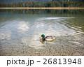 湖 カモ 鴨の写真 26813948