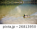 湖 カモ 鴨の写真 26813950
