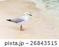 海辺のカモメ 26843515